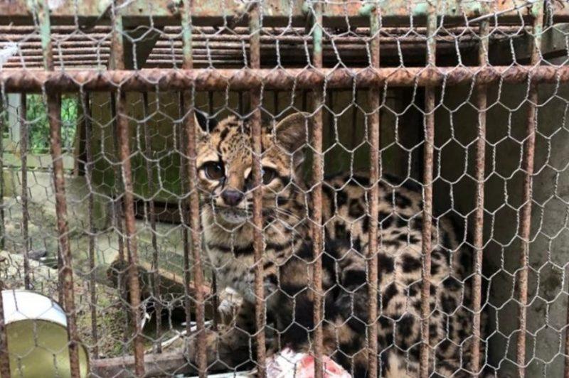 Morador de SC captura animal ameaçado de extinção – Foto: Divulgação/Corpo de Bombeiros