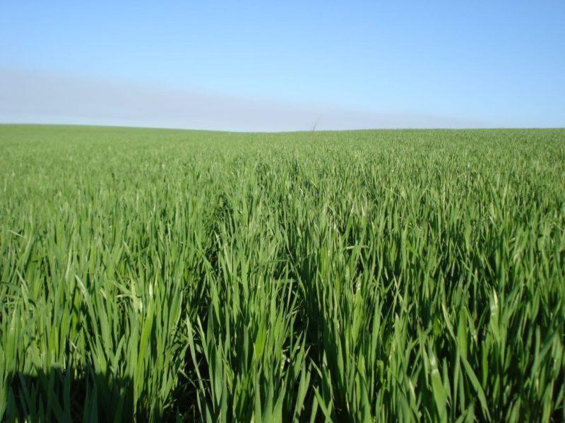 Governo estadual está incentivando o plantio de cereais de inverno ainda para esta safra – Foto: Divulgação/ND