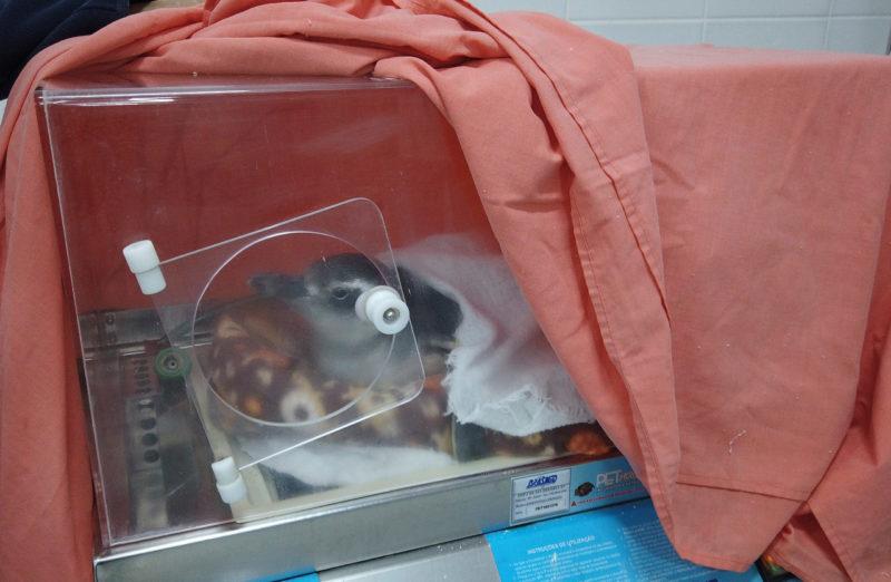 Pinguim foi colocado em uma unidade de tratamento para se recuperar – Foto: Nilson Coelho/R3 Animal