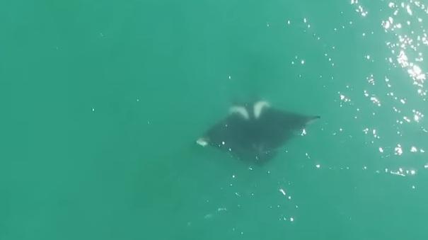 Raia manta foi avistada no litoral Sul de SC – Foto: Reprodução/ND