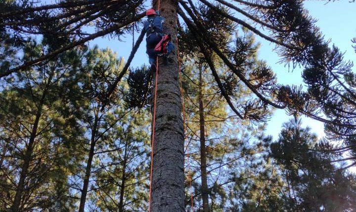 Homem subiu na araucária para colher pinhão, mas não conseguiu descer de uma altura de 25 metros – Foto: Corpo de Bombeiros/Divulgação/ND