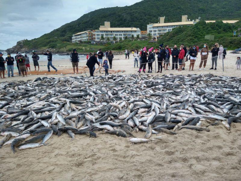 Lanço de tainha na praia do Santinho – Foto: Divulgação/ND