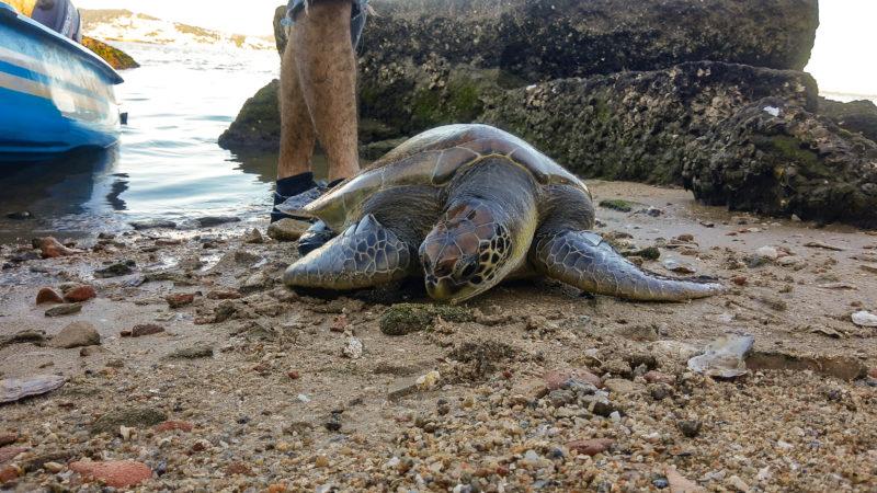 Tartaruga estava presa a uma rede de pesca