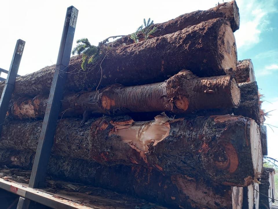 Após vistoria no local, a polícia flagrou 132 toras de madeira nativa. Parte das toras estavam carregadas em três caminhões e outras já haviam sido descarregadas no pátio da empresa. - Polícia Militar Ambiental/Divulgação/ND