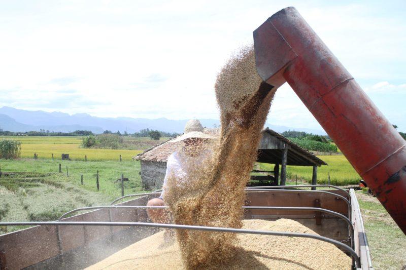 A produção do arroz irrigado vem tendo melhores resultados a cada ano, em Santa Catarina – Foto: Divulgação.
