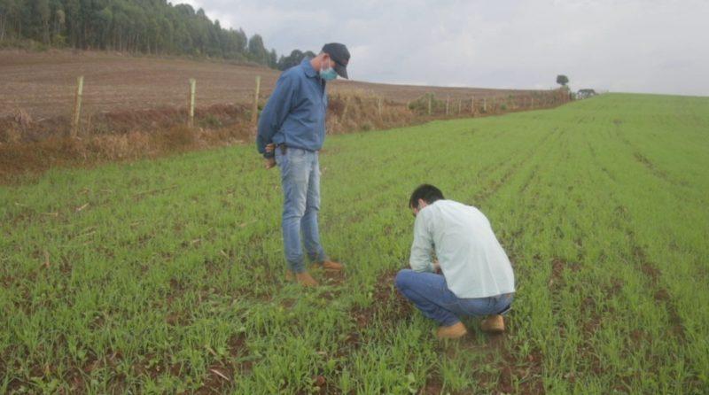 Pai e filho cultivam cereais de inverno em Faxinal dos Guedes, no Extremo Oeste de SC – Foto: Divulgação/ND