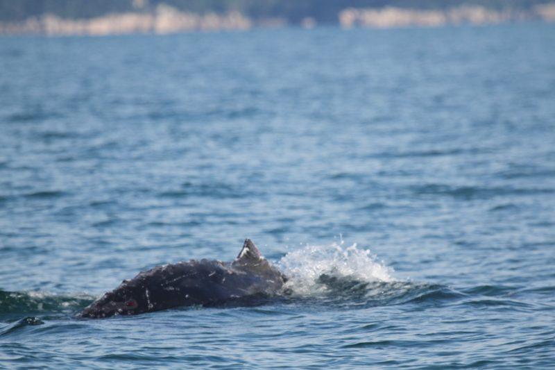 Baleia jubarte foi libertada na manhã desta terça (15) pelas equipes de resgate – Foto: Divulgação