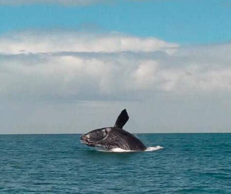Baleias-franca são vistas em território catarinense – Foto: Instituto Australis/Divulgação/ND
