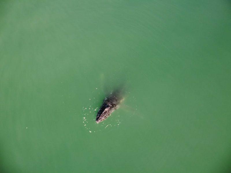 Animal tem aparecido com frequência no litoral de Santa Catarina – Foto: Emanuel Ferreira/ R3 Animal