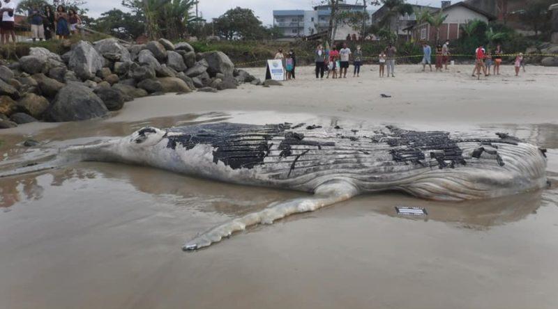 Baleia-jubarte com mais de sete metros foi encontrada em Itapoá – Foto: PMP-BS/Divulgação