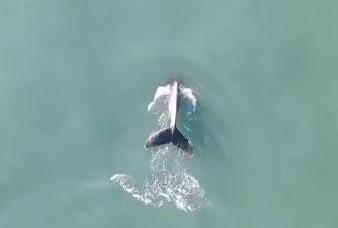 Baleias-jubartes são flagradas em praia de Balneário Camboriú – Foto: Reprodução/ND