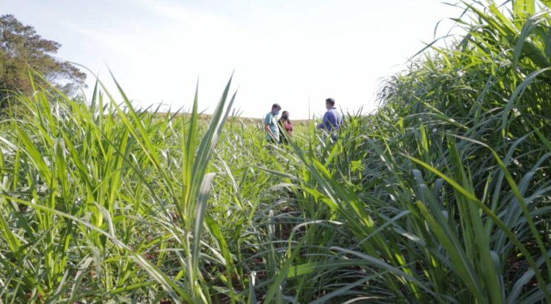 Produtor de Palmitos cultiva capim capiaçu para alimentar o rebanho de gado – Foto: Divulgação/ND