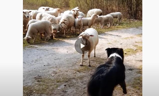 Carneiro enfrenta cão pastor e se recusa a receber ordens – Foto: Reprodução/ND