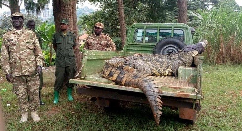 Animal assombrou vila por décadas e foi levado para fazenda especializada em crocodilos – Foto: Reprodução/Facebook/Uganda Wildlife Authority