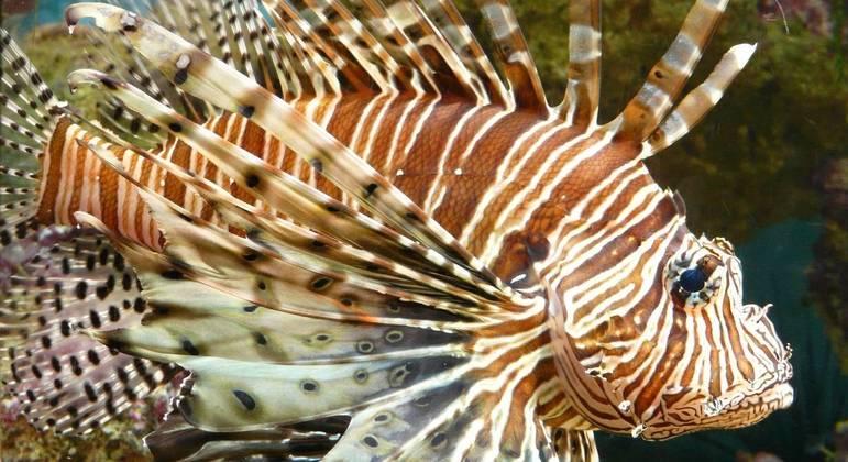 Cinco exemplares de Peixe-leão foram capturados em águas brasileiras até agora – Foto: Divulgação / Pixabay