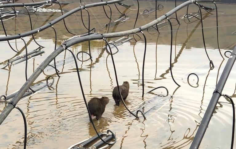 Capivaras estavam em um tanque de água e não apresentavam ferimentos em uma empresa no Rio Maina – Foto: Corpo de Bombeiros/ND