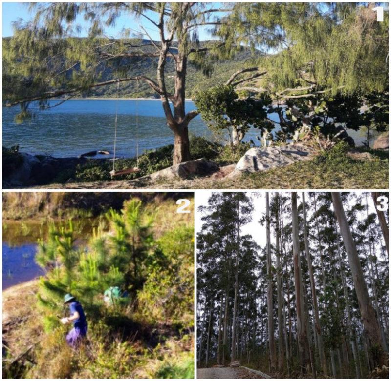 Pinus, eucalipto e casuarinas, espécies invasoras mais graves de Florianópolis