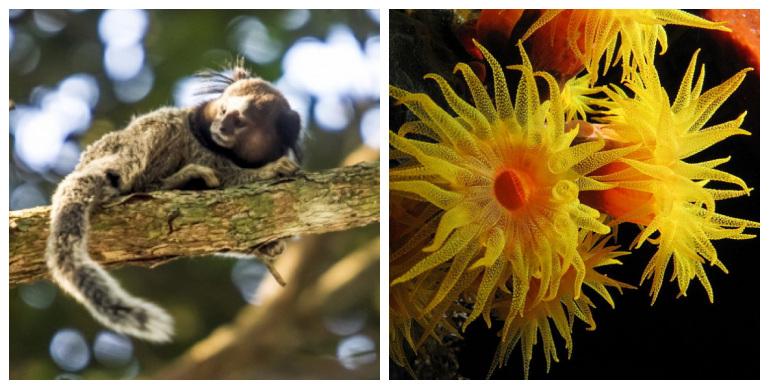 1. Sagui (Flávio Tin/Arquivo/ND) 2. Coral-do-sol (Alexander Vasenin/Wikimedia Commons/Divulgação) – Foto: Montagem/ND
