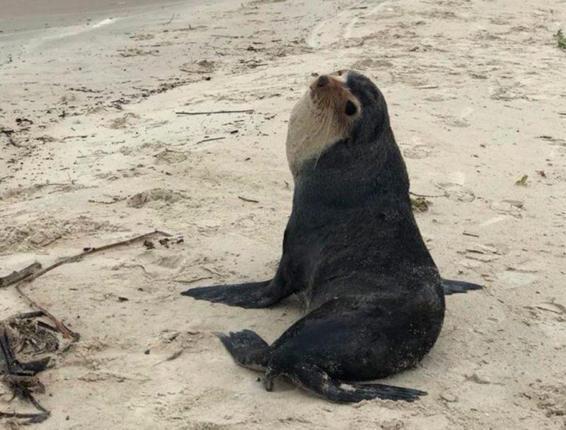 Lobo-marinho é avistado na praia do Moçambique, em Florianópolis – Foto: R3 Animal/Divulgação/ND