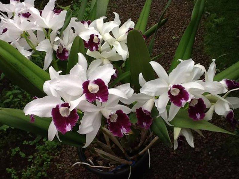 Orquídea Laelia purpurata, flor-símbolo de Florianópolis e de Santa Catarina – Foto: Marcelo Vieira Nascimento/Divulgação/ND
