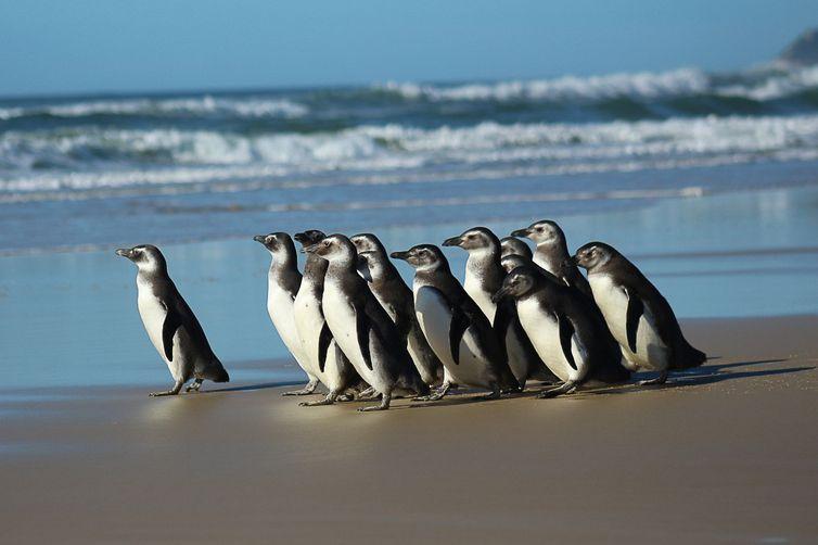 Em média, 90% dos pinguins chegam à costa brasileira já mortos ou muito fracos. Os resgatados passam por reabilitação e são devolvidos ao mar – Foto: Nilson Coelho/Agência Petrobras/ND