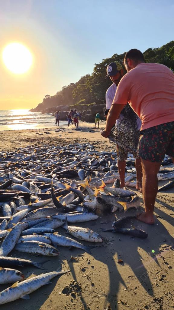 Foram capturadas certa de 2.000 tainhas na praia da Barra da Lagoa neste sábado - Divulgação/ND