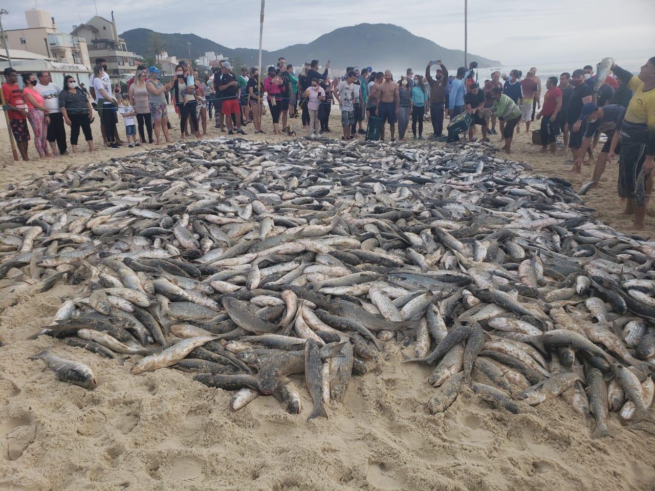 Mais de cinco mil tainhas foram pescadas apenas neste domingo na Praia dos Ingleses, Norte da Ilha - Cristiano, ZapZap da Tainha/Divulgação/ND