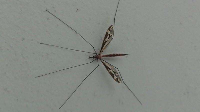 """Inseto conhecido como """"mosquito gigante"""" não precisa morrer – Foto: Divulgação/ND"""