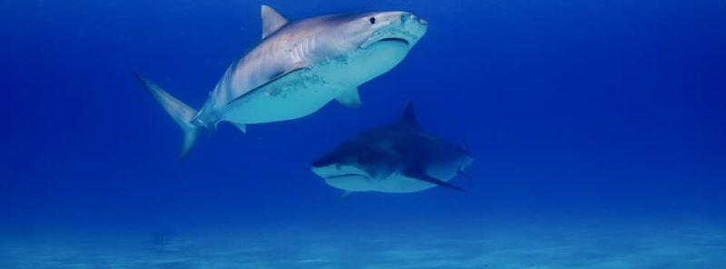 Há 19 milhões de anos, 90% dos tubarões foram dizimados da Terra - Gerald Schömbs on Unsplash