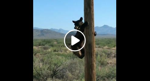 Urso subiu no poste e causou apagão nos EUA – Foto: Divulgação