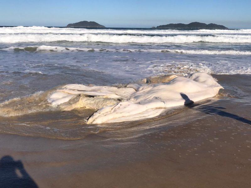 Décima baleia-jubarte foi encontrada morta em Florianópolis e enterrada nesta segunda-feira (19) – Foto: Regina Reis/R3 Animal/Divulgação/ND