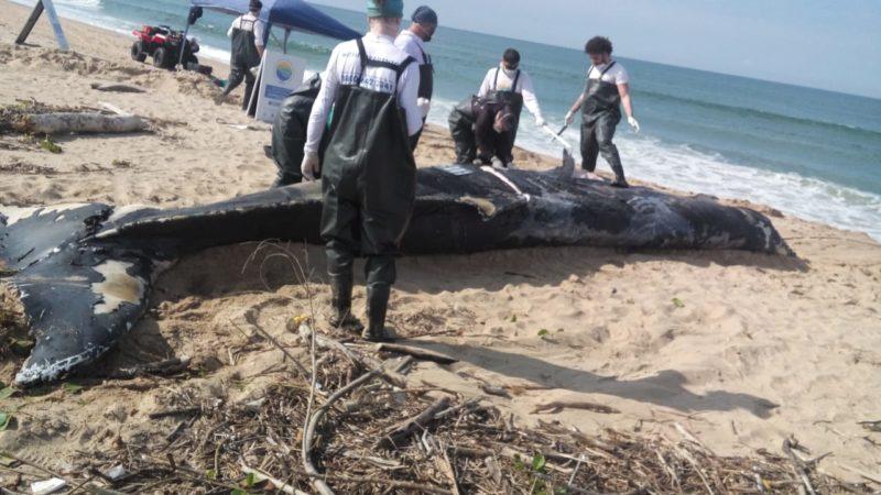 Animal foi achado por pescadores na praia da Barra do Itapocu – Foto: Prefeitura de Araquari/Divulgação/ND