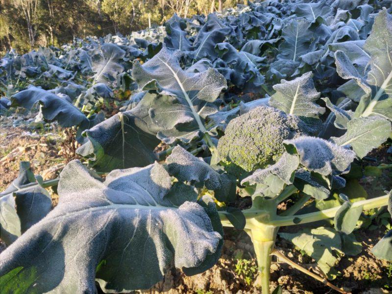 Plantação de oito mil pés de brócolis, do agricultor Gilberto Diel, de Rancho Queimado, na Grande Florianópolis, ficou congelada – Foto: Divulgação/ND