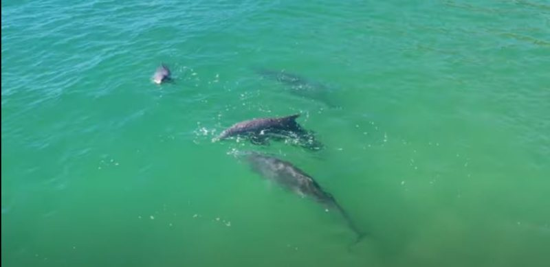 Golfinhos proporcionam espetáculo na Praia Brava, em Florianópolis – Foto: Ricardo Weg/divulgação