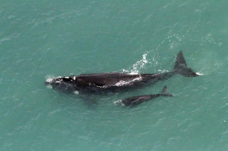 mãe e filhote de baleia-franca