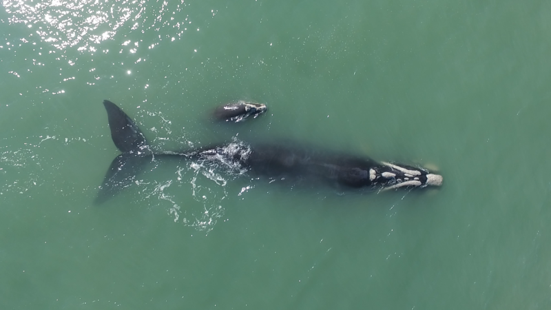 Temporada da baleia-franca acontece entre julho e novembro no Sul do Brasil – Foto: Divulgação/ Instituto Australis/ ND