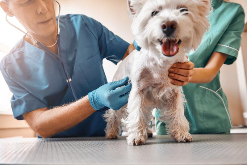 Manter a vacinação em dia e cuidados com o sistema imunológico são fatores importantes para evitar complicações com a gripe canina – Foto: iStock/Divulgação