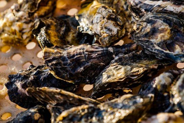 Criação de moluscos é interditada em bairros da Grande Florianópolis – Foto: Ricardo Wolffenbüttel/Secom/Reprodução/ND