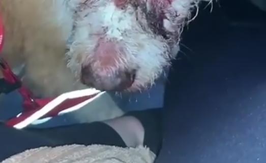 Cachorra foi atacada a marteladas