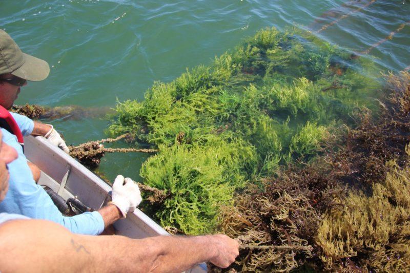 Cultivo está liberado em Florianópolis; aval é para um parque aquícola, inicialmente – Foto: Epagri/Ciram/divulgação