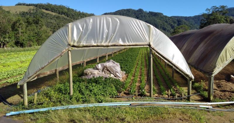 Agricultor Jaime Leopoldo conseguiu cobrir com lona de plástico apenas uma parte de suas plantações – Foto: Paulo Rolemberg/ND