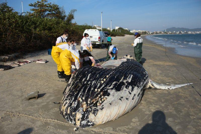 Baleia-jubarte encontrada em praia de Florianópolis tem possível causa da morte revelada – Foto: Nilson Coelho/ R3 Animal/ Divulgação/ND
