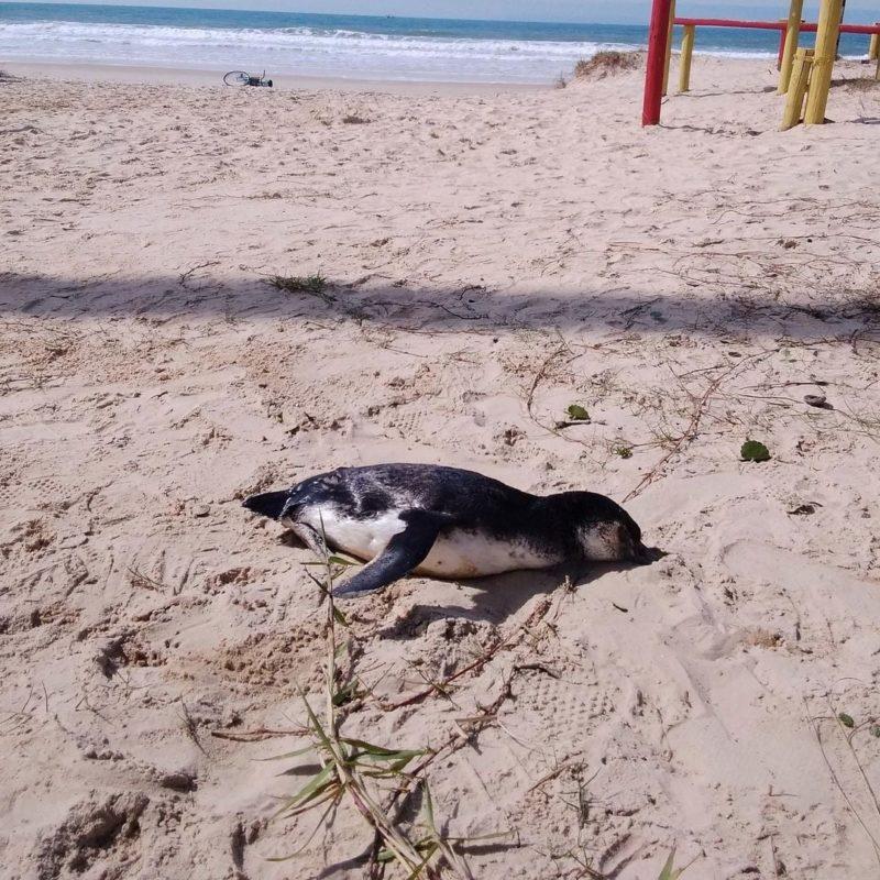 Pinguins mortos foram encontrados em praia de Itapema – Foto: PMP-BS/Divulgação
