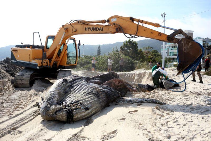 Baleia-jubarte foi enterrada com ajuda de retroescavadeira – Foto: Nilson Coelho/ R3 Animal/ Divulgação/ND
