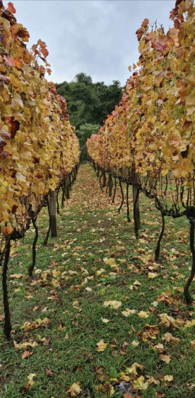 O vinhedo de onde saem as uvas para os vinhos – Foto: Orgalindo Bettu – divulgação