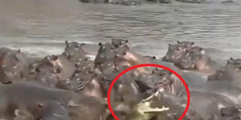 Vídeo cruel mostra ataque contra crocodilo em território de hipopótamos – Foto: Reprodução/ND