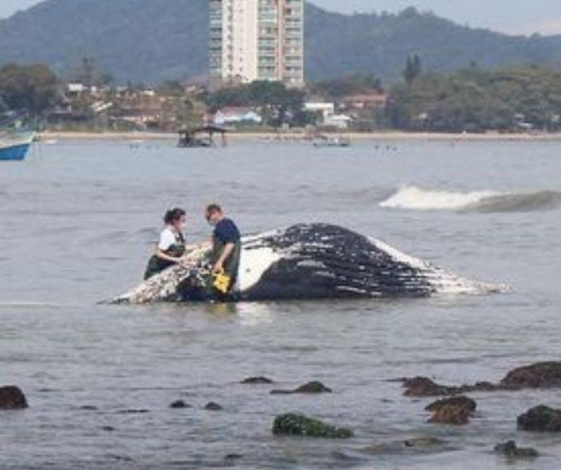 Baleia de mais de oito metros encalha e fica presa às pedras em praia de Penha – Foto: Univali/Reprodução
