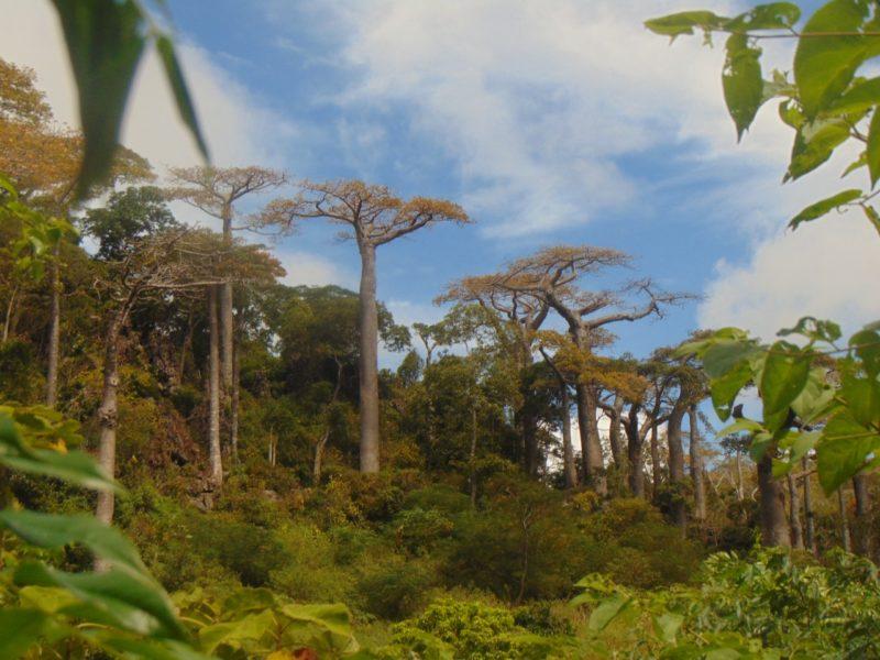 População de Adansonia suarezensis ao norte de Madagascar – Foto: Mário Tagliari/Divulgação/ND
