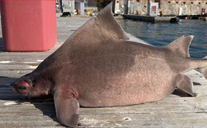 O tubarão porco é comum no mediterrâneo, mas vive em profundezas de 750 metros – Foto: Reprodução