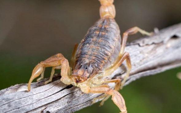 Escorpião está entre os animais peçonhentos – Foto: divulgação/SES